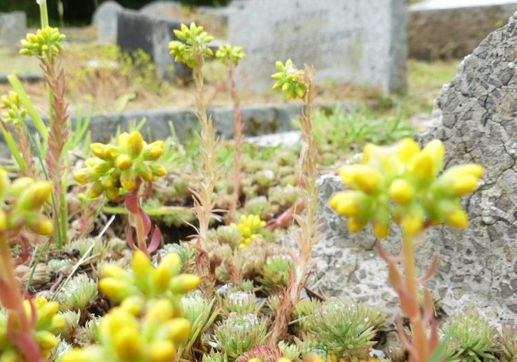 ChurchImages-Cornwall-Chacewater- Stonecrop