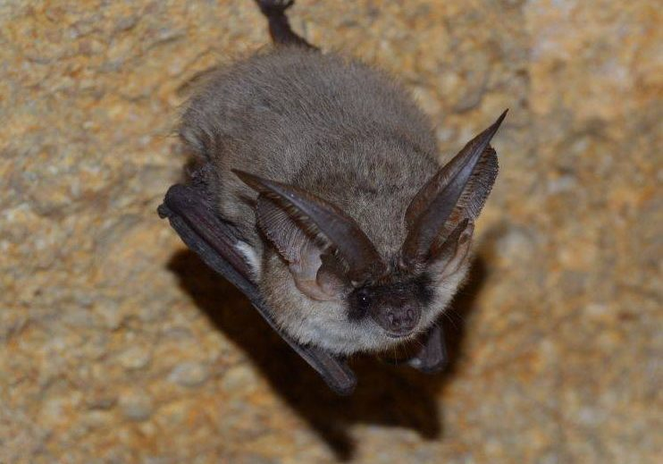 Grey long eared bat_CC_Andrei Sakhno