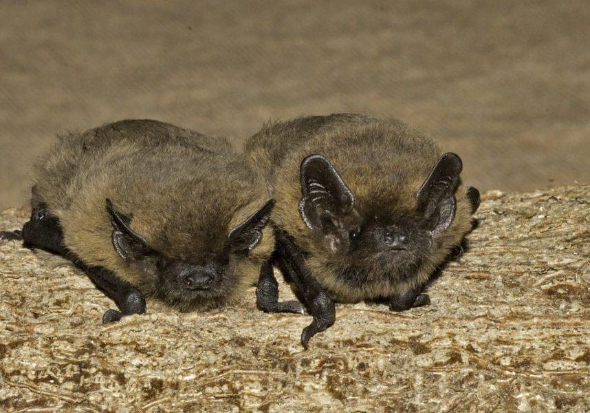Pipistrelle bats by Hugh Clark